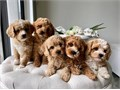 I have four gorgeous AKC registered Golden Doodle puppies available I own both Sire and Dam Puppie