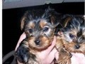 AdORable male and female yorkie puppieSS Registeredmale and femaleEmail us if interested in