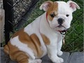 Beautiful English bulldogs puppies AvailableGiving them out due to change in wo