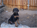 Doberman pups all shots and worming current father isGawaine Von Pendragon l
