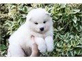 Hello just wanted to find out  interested in taking one of the my cute Samoyed puppies they are read