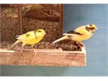 Three beautiful healthy and very melodius canaries looking for newloving home homes   2 males an