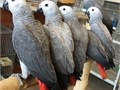 httpsexorticpetshopcomproduct-categoryafrican-greysPurchase Congo African Grey Parrot Onl