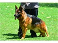 German Shepherd Imported Germany Fido Von Modithor Puppies 323893-2379Sire Schumann Von Tronj
