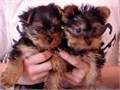 tiny yorkie puppies