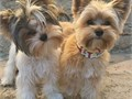 Adorable yorkie puppies  These puppies are well trained and potty trained  They have good temperam