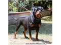 AKC Rottweiler Adult Female looking for pet HouseExcellent Temperament No breding rights