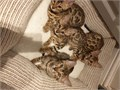 Beautiful Bengal kitten for sale all kittens come with 4 weeks free insurance all vaccines flead and