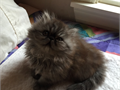 6 month old Persian smoke boy for sale Purebred parents are grand champions Unneutured