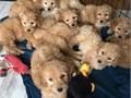 7 Maltipoo puppies Available for rehoming contact us at 1 202-681-4377 for more information