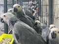 Talking African Grey Parrots For SaleTalking African Grey Parrots For SaleTalk