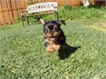 Puppys name Harley Breed Yorkshire Terrier Age 10 weeks old Registry na Estimated adul