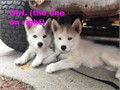 Siberian Husky 2 Males 1 Female Both of their parents are AKC registered Siberian Huskies The Mo