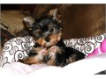 Yorkshire TerrierYorkie male and female Puppies for sale They are fully weaned on puppy food wo