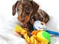 dachshund puppies available AKC registered delivery for a new homeVet Checkup to date Dewormed P
