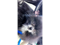 Hes a 4lb great personality very playful extremely smart little Pomeranian Price is always negot