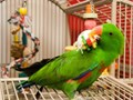 Parrot ready for adoption to homes understanding the daily requirements for these cute for daily att
