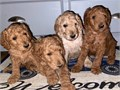 Gorgeous golden doodle puppies ready for their new homes only 4 left from the litter 3 males 2 re