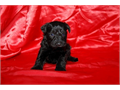 Schnoodles Ready for a good home UTD shotsHealth G Females 550 Around 15 lbs grown Call 706-473