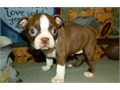 Registered Male And Female Puppies Available they are all vet checked home tra
