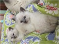 Intelligent TCA registered red point Ragdoll Kittens She can be bought as pet or breederShe is okay