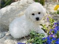 Teddy bear face male white color maltipoo This little baby boy is now available