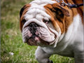 English Bulldog Stud Apollo imported from Spain son of Rembombory Colombo grandson of two-time Wor