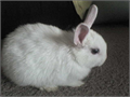 Netherland dwarf 3 months old Vaccinated for vhd 2 Will come with change over food and advice as nee