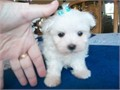 Super Adorable 12 week old teacup maltese Puppies We need to find a beautiful home and a family t