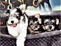 ADORABLES Yorkshire terrier YorkieSummary Breed - Yorkshire terrier YorkieAdoption fee - 1
