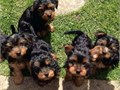 Super cute and charming yorkies available They have been vaccinated and up to date on shots  Messa