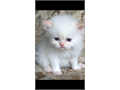 update- 3 kittens leftHealthy beautiful himalayan kittens with amazing temperaments are availabl