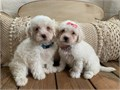 Maltipoo Puppies MaltesePoodle Puppies are 8 weeks old They have their first