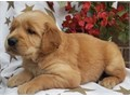 Go lden r etriever puppies up for adoption for more info and pics send text to 2135162660