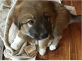 Two amazing Idaho Mountain Dog Pups ready for Adventure 14 Golden Retriever 14 Great Pyrenees 1