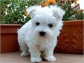Miniature white Maltese puppies for sale Both parents have excellent pedigrees and pups will leave