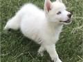 Only 1 left All White Siberian Husky blue eyes AKC full registration