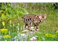 three tabbys kittensbengal main coon mix rehome fee 200 each