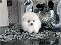 AKC Ice White Female Pomeranian Gorgeous Teddy Bear face Huge thick coat nice tail and ears stand