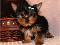 Three gorgeous Yorkie puppies available now 1 male and 2 female All pups doing well have been vet