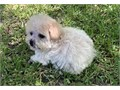 Baby doll face tiny toy cream color female Poodle silky curly coat  Will be  about  5 -6 Lbs rang
