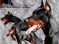 DOBERMAN Brody Black male-We have a imported from Poland a young male stud for stud service He i