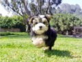 Trixie is our beautiful Parti Morkie Female Designer Puppy Morkie Maltese x Yorkshire Terrier 505