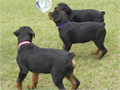 German champion bloodlines good temperaments parents on site AKC papers 750 PET Limited regis