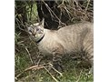 Bear is almost 2 Neutered Hes a sweet boy gentle with a kind heart He loves to cuddle and enjoy