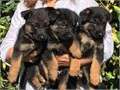 German Shepherd puppiesThey are vet checked KC424 262-0725registered and currently on their