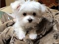 Pure breed Maltese puppies potty trained vet checked AKC registered and up to date on all shots a