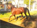 DulceBay Azteca mare 7 years old green broke Started but never finishedDam and Sire are Azteca