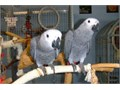 Hand reared fully weaned super tame African Grey male and female dna sexed closed rung comes with ci