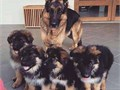Calltext to 209xx243xx6867Our litter of German Shepherd puppies are available at 8 weeks old sho